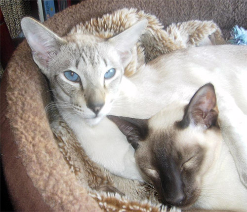 Merlin and Billi; siamese cats