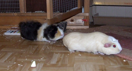 guinea pigs adventure