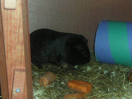 Zippy the Guinea Pig