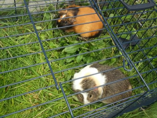 Entry for green: 'guinea pigs on grass'