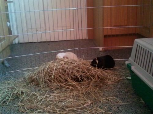 guinea pig trio