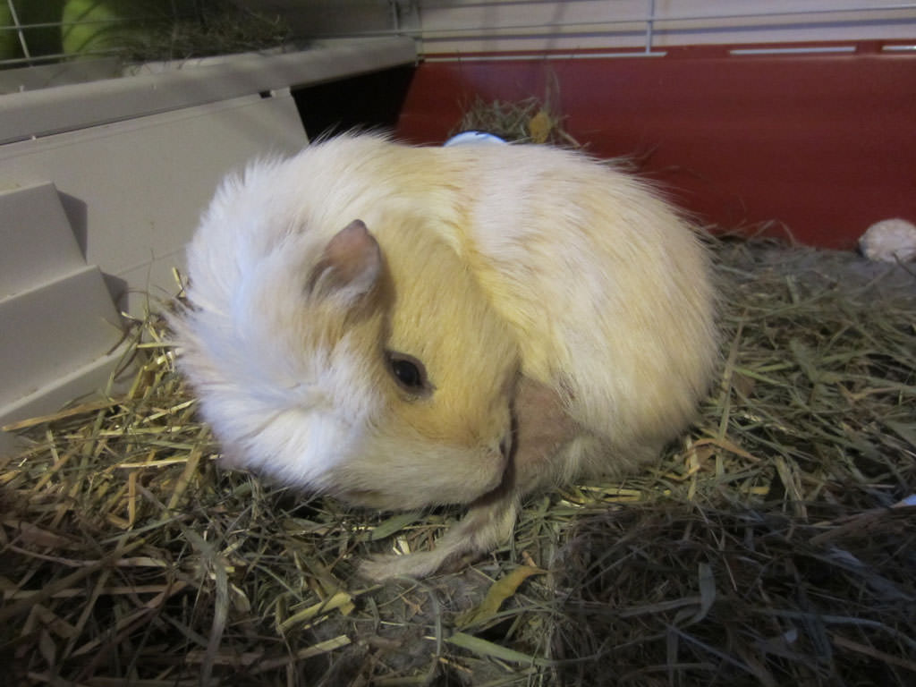 guinea pig skin problem