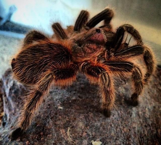 rosie-spider