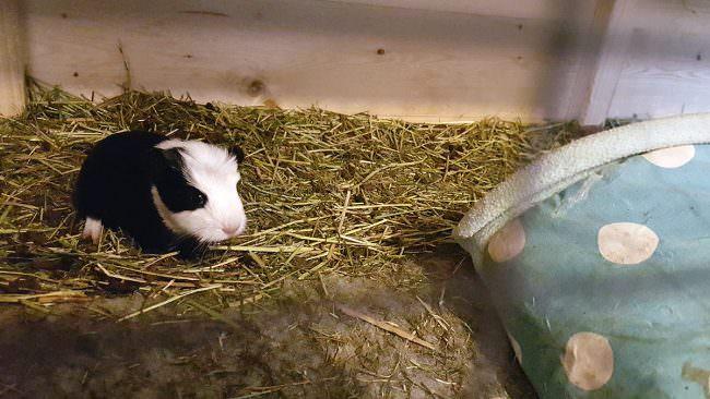 baby-guinea-pig