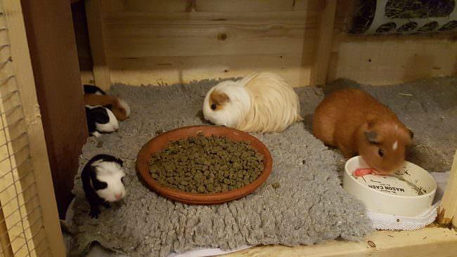 guinea-pig-family