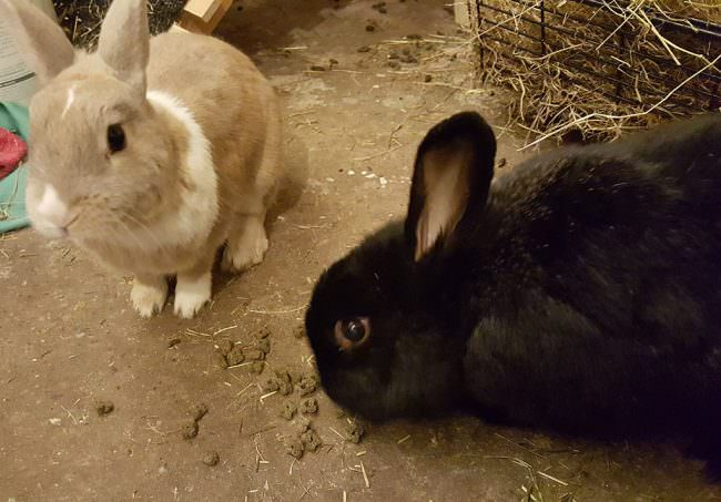 peanut-and-saggi-rabbits
