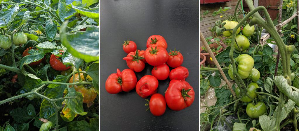 two varieties of tomato with a mixture of red (ripe) and green (unripe) tomatoes on the plant